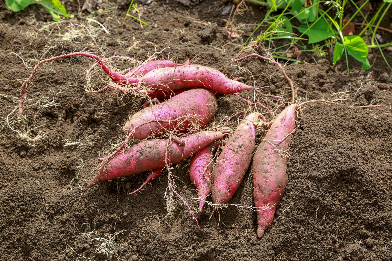 「里山シェア大井松田」で収穫されたさつまいも