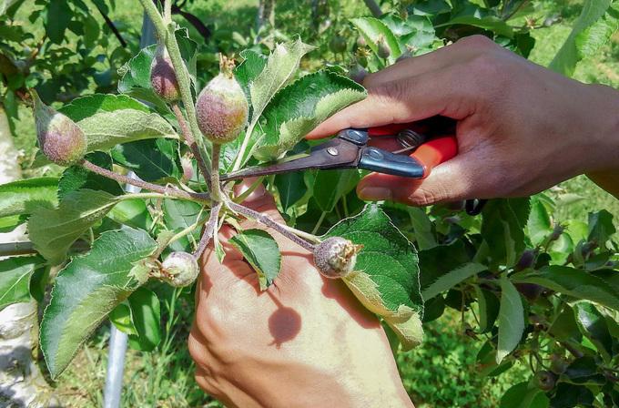 りんごの果実 摘果体験