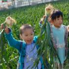 玉ねぎの収穫体験