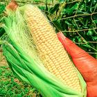 とうもろこしの収穫体験
