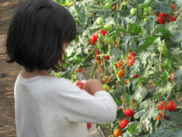 プチトマト収穫体験