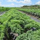 カリーノ―ケール収穫体験