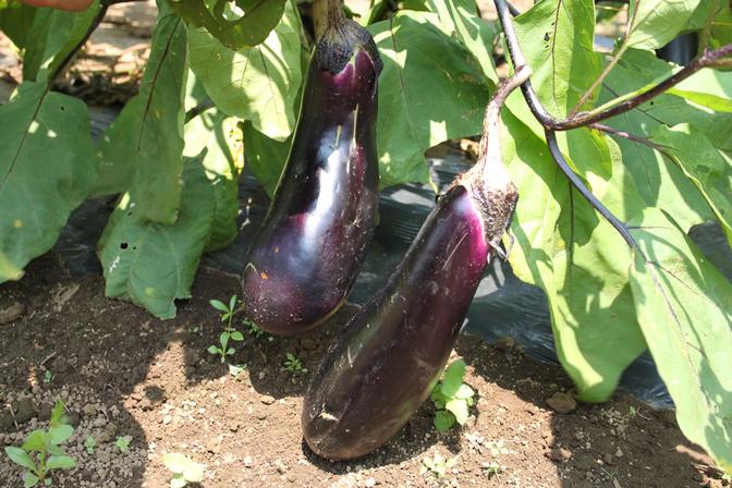 夏野菜収穫体験