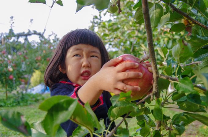りんご狩り 収穫体験