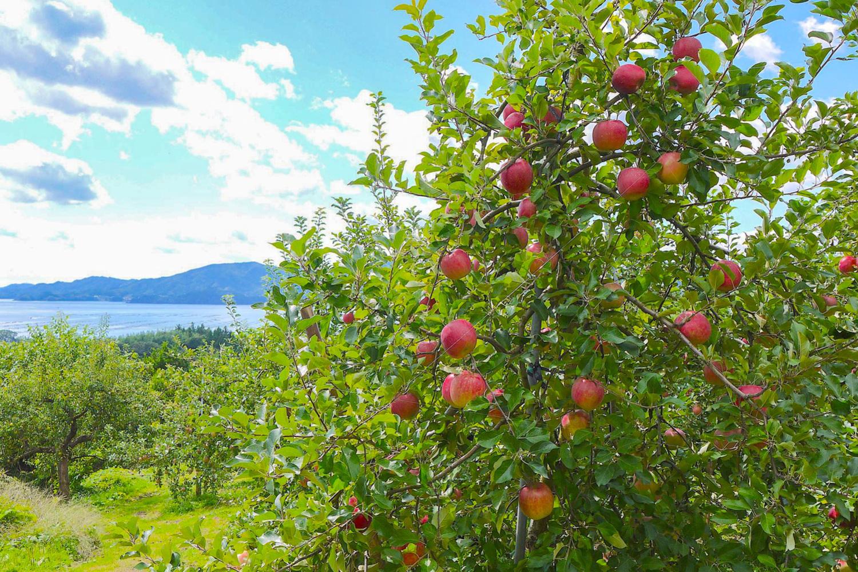LAMPのりんご畑